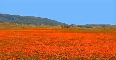 california poppy reserve  sea  orange happiness kuriositas