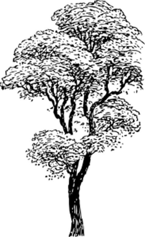mahogany tree coloring page tall tree clip art at clker com vector clip art online