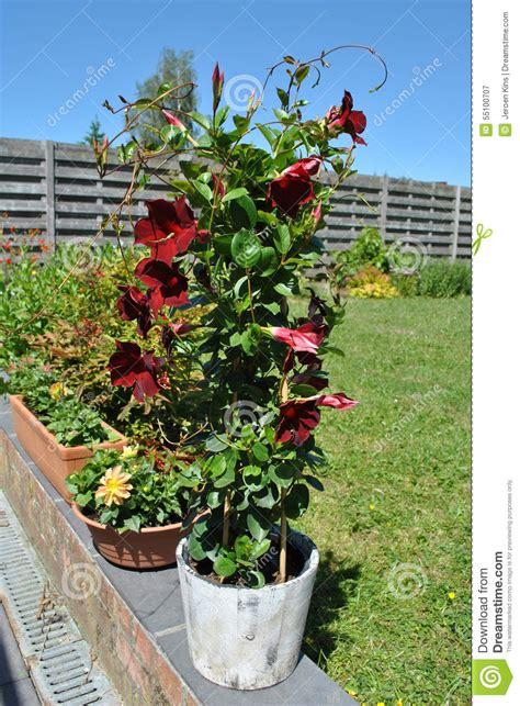 Blakc Reddish Flower S M L 44398 dipladenia stock photo image 55100707