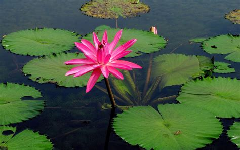 pink water lily flower lake water  wallpaperscom