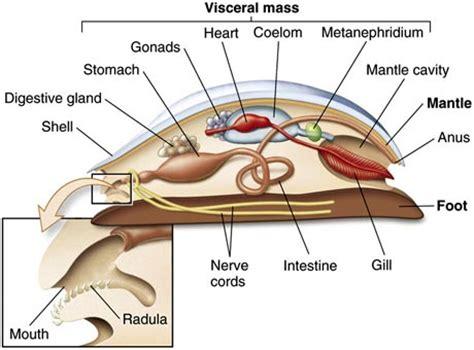 mollusk diagram the gallery for gt phylum mollusca diagram