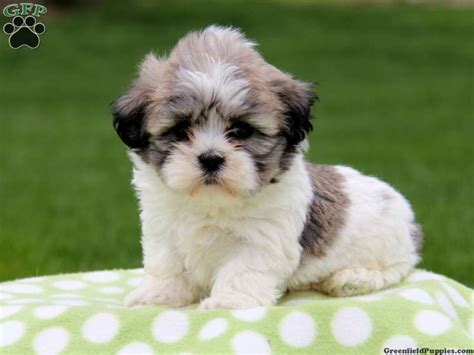 sheshan teddy bear puppies the cutest teddy bear shichon puppy cute cuddly