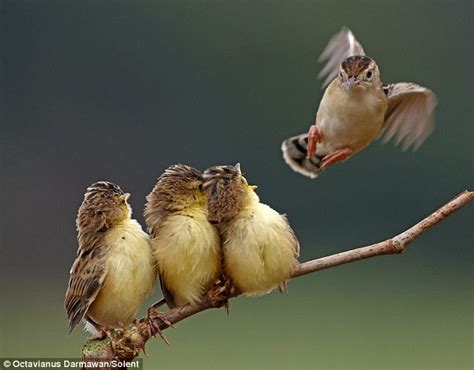 amazing pictures of warbler chicks at feeding time daily