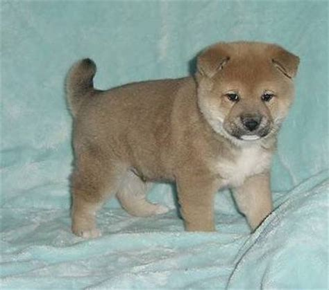teacup shiba inu puppies for sale teacup yorkie puppies available benbrook tx asnclassifieds