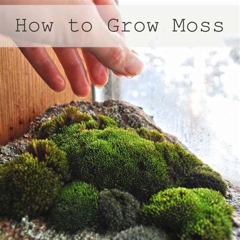 mosses 101 how to grow moss plants indoors and out