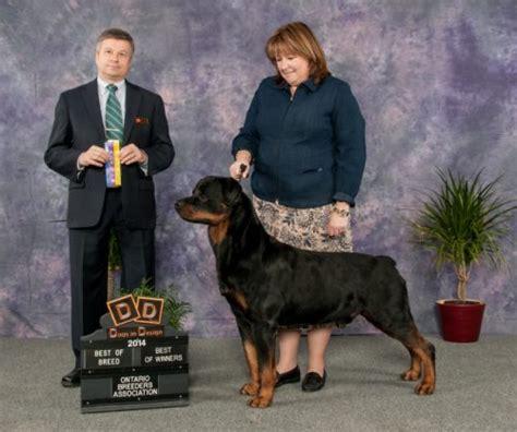 golden retriever rescue adoption ontario rottweiler adoption ontario dogs in our photo