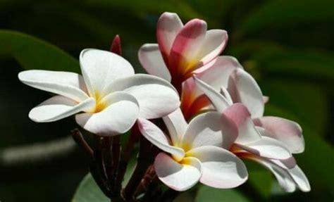 pomelia fiore pomelia caratteristiche e coltivazione della plumeria o