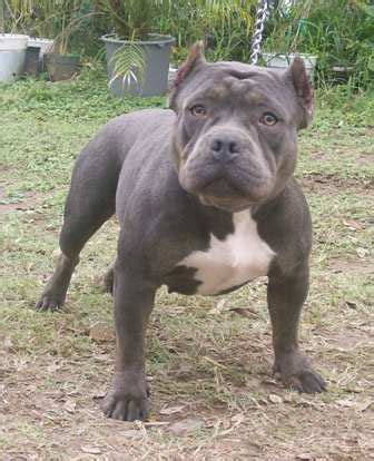 american bully breed information: history, health