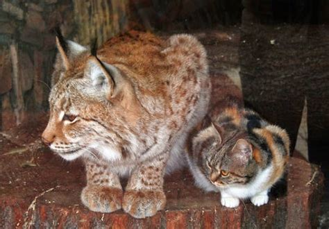 lynx house cat homeless cat sneaks into zoo and becomes friends with a lynx