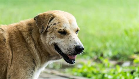 lupus in dogs what is systemic lupus erythematous in dogs
