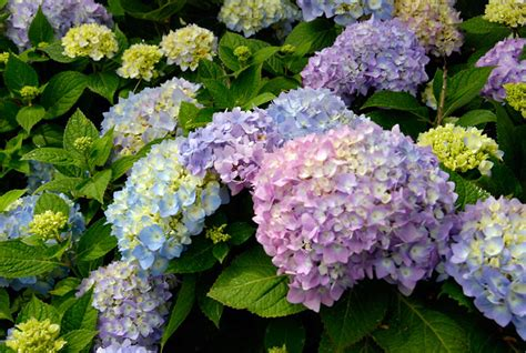 success with hydrangeas a gardener s guide books caring for hydrangeas rogers hill garden center