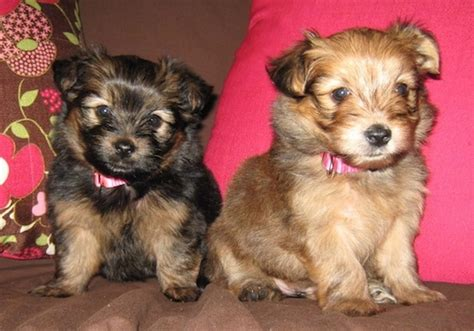 yoranian puppies yoranian breed information and pictures