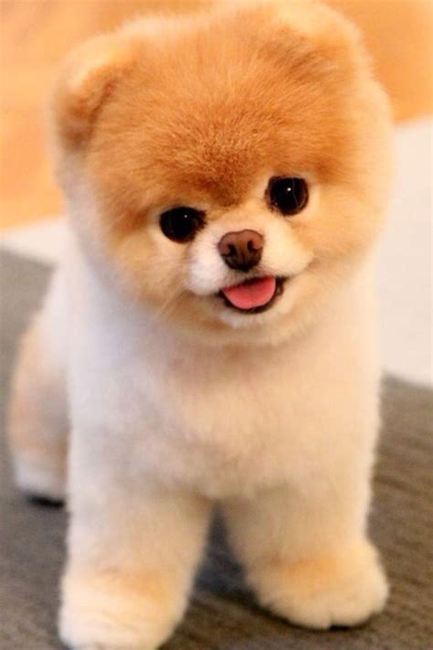 what are pomeranians known for 17 best images about boo the most pomeranian on pomeranian dogs