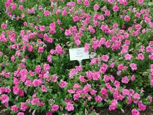 petunia supertunia double pink annual flower research at