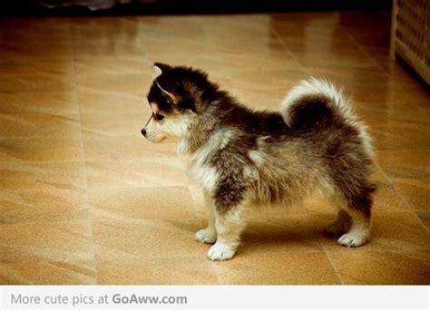 corgi husky puppies husky corgi mix puppy so fuzzbutts