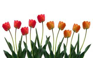 Summer Flowers For Weddings - orange tulips hd 7019822