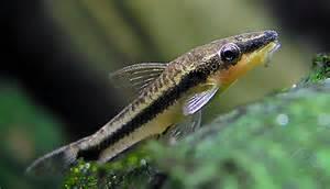 Betta Aquascape Fish File Otocinclus Affinis Oto