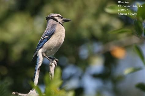 best 28 what do jays look like ingrids boktankar