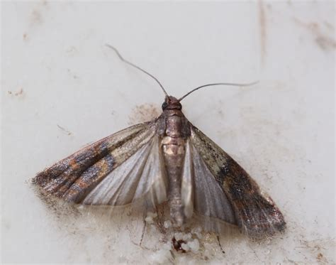 moths in kitchen cabinets moths in my kitchen cabinets moths from bird seed moths
