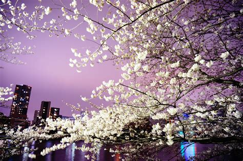 cherry blossom festival cherry blossom festivals of the heian period myideasbedroom