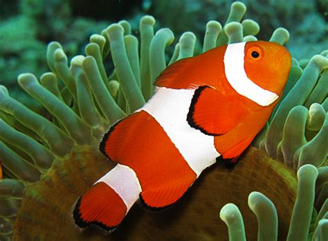 sprei clown fish 120 say hi to the world s most beautiful and colorful fish
