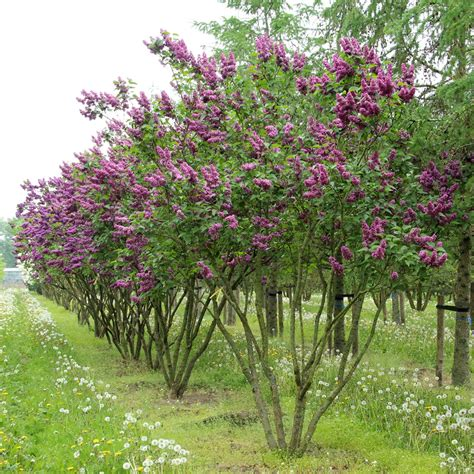 lilac tree syringa vulgaris charles joly multi stem umbrella