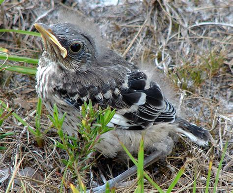 baby mockingbird flickr photo sharing