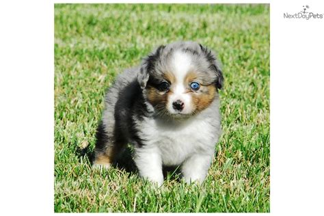 mini australian shepherd puppies for sale in pa shepherd puppies for sale the miniature australian shepherd puppies breeds picture