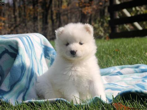 samoyed puppy for sale chelsie samoyed puppy for sale in pennsylvania