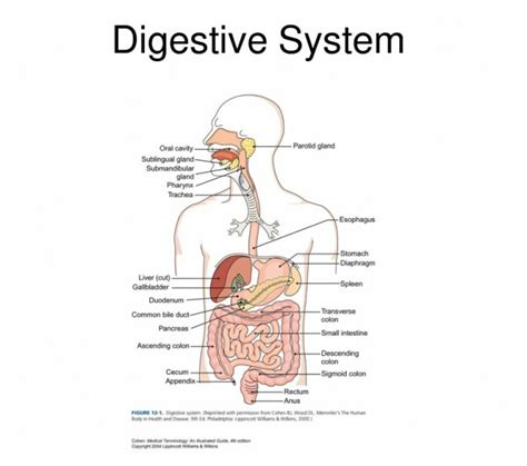 interactive digestive system diagram digestive system labeled for black models picture
