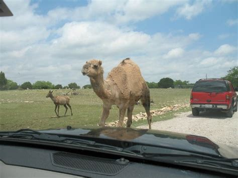 drive zoo texas love seeing all the animals picture of topsey exotic