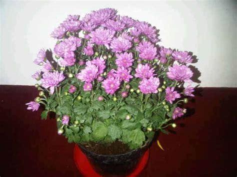 Jual Bibit Bunga Aster Dan Krisan jual tanaman krisan pompon pink bibit