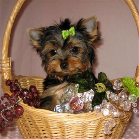 yorkie puppies for free in utah quality teacup yorkie puppies for adoption salt lake city dogs for sale puppies
