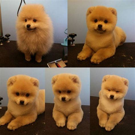 pomeranian haircuts pictures best 25 pomeranian haircut ideas on pomeranian pups names of haircuts
