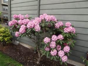 pink flower bush by sierrawheeler on deviantart