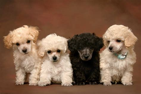 poodle puppy miniature poodle puppies wallpaper