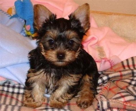 yorkie puppies for adoption in california siberian husky puppies