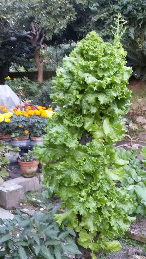 lettuce grown in pvc pipe in kitchen garden vertical