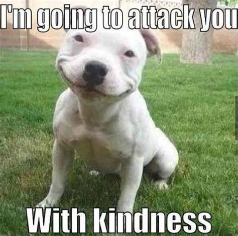 Pitbull Memes - pitbull attacks with kindness memes doggy stuff