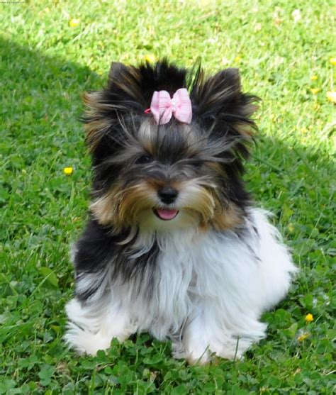 what are biewer yorkies foto biewer terrier