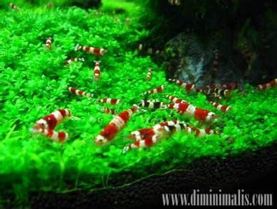 Makanan Ikan Udang Hias jenis jenis udang hias untuk akuarium minimalis anda