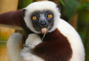 'zoboomafoo' lemur dead — jovian from pbs series dies at