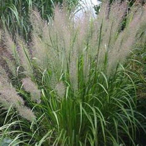 northern nurseries ornamental grass grasses