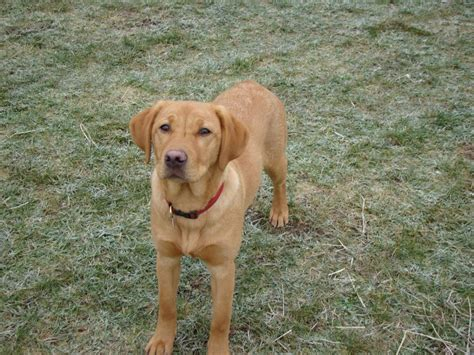6 month puppy behavior 6 month labrador retriever health care and feeding