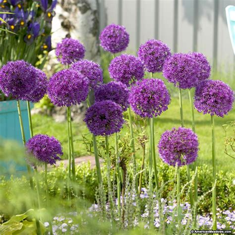 allium aflatunense bulbs purple sensation american meadows