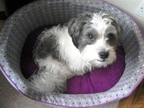 shih tzu terrier cross shih tzu terrier cross durham county durham pets4homes