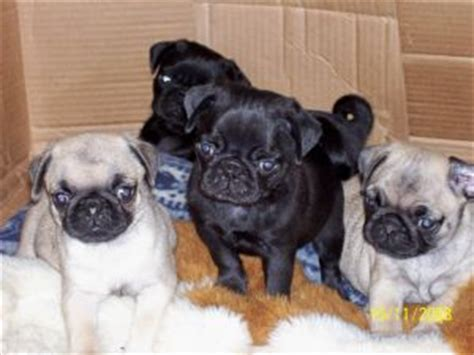 pug puppies springfield mo pug puppies in missouri