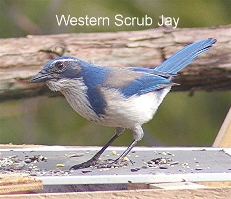 bird pictures california scrub jay formerly western