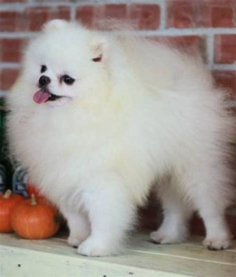 adopt a pomeranian pomeranian puppiess for adoption offer iklin