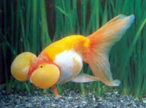 Pakan Ikan Koki Oranda koki toko ikan hias quot uplixs fish quot